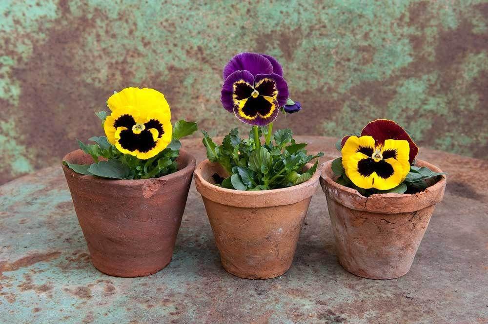 Moral Story About Honesty Seed Truth Pansies Flowers Winter Pansies Pansies