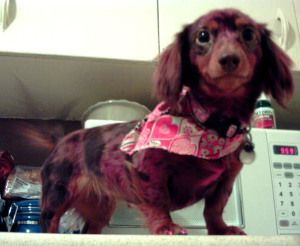 Georgia S Hair Is Dyed Pink Doxie Puppies City Pets Wiener Dog