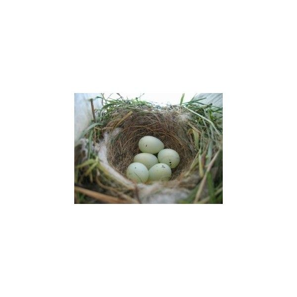 stock.xchng - Sparrow bird nest (photo by bstangland) ❤ liked on Polyvore featuring backgrounds, birds, animals, nest and photos