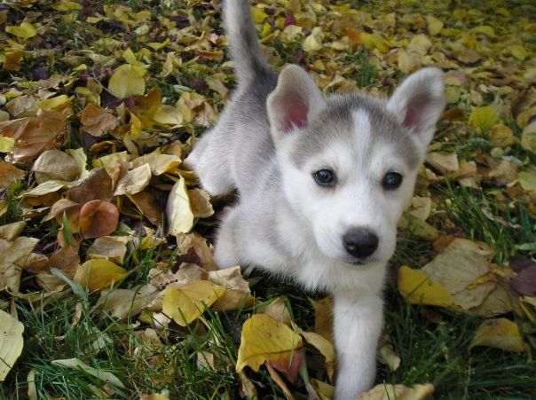 Pin By Heather Butler On Dogs Animals Dogs Husky