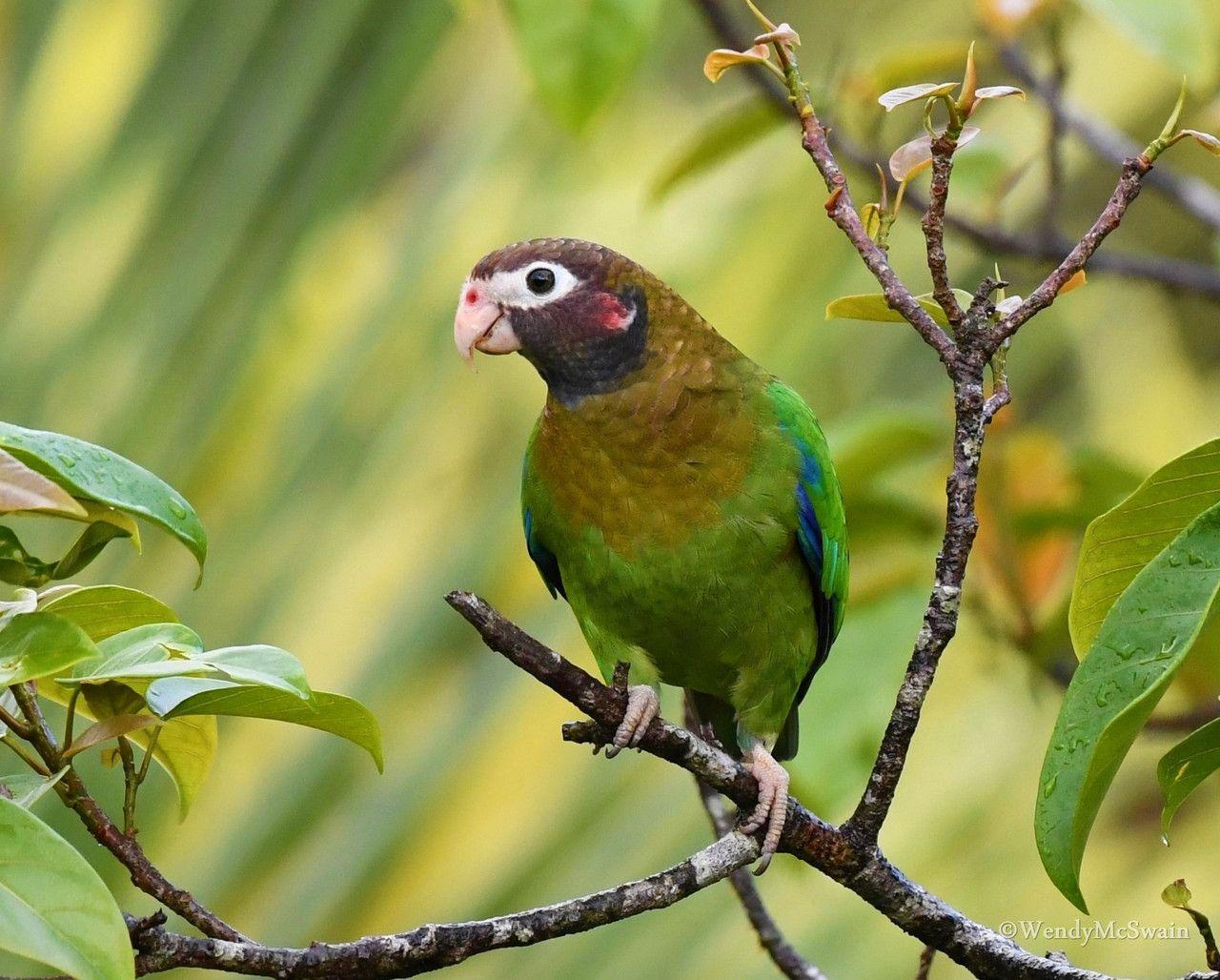 Brown headed parrot costa rica parrot birds bird