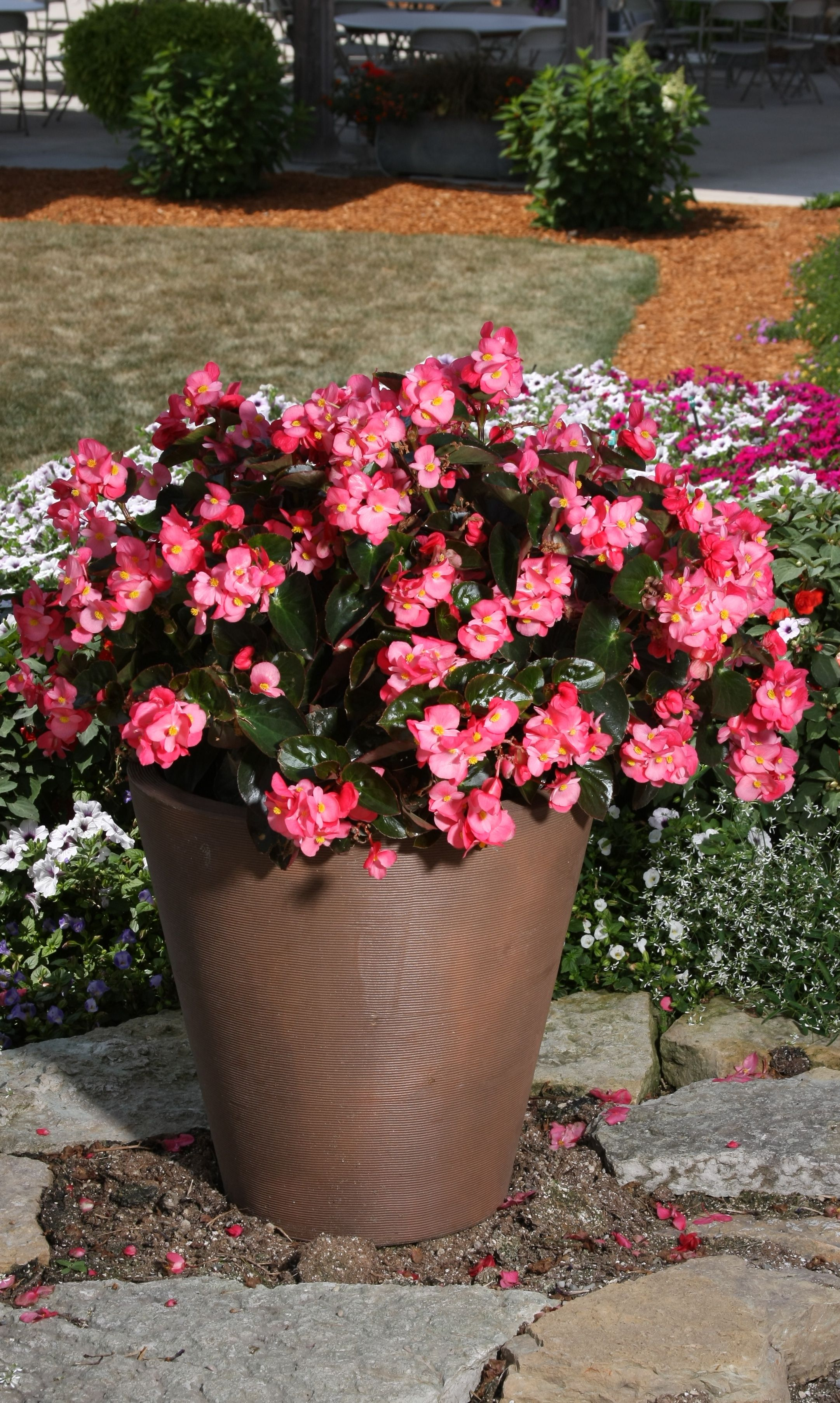 Surefire Rose Begonia Benariensis Front Porch Flower Pots