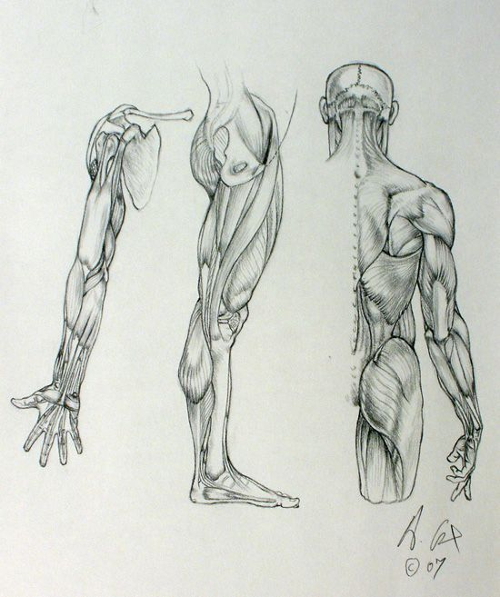 Enjoy a collection of references for Character Design: Arms Anatomy ...