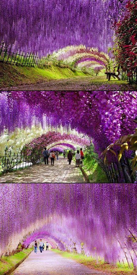 Wisteria Flower Tunnel Kitakyusha Japan Places To Travel Travel Beautiful Places