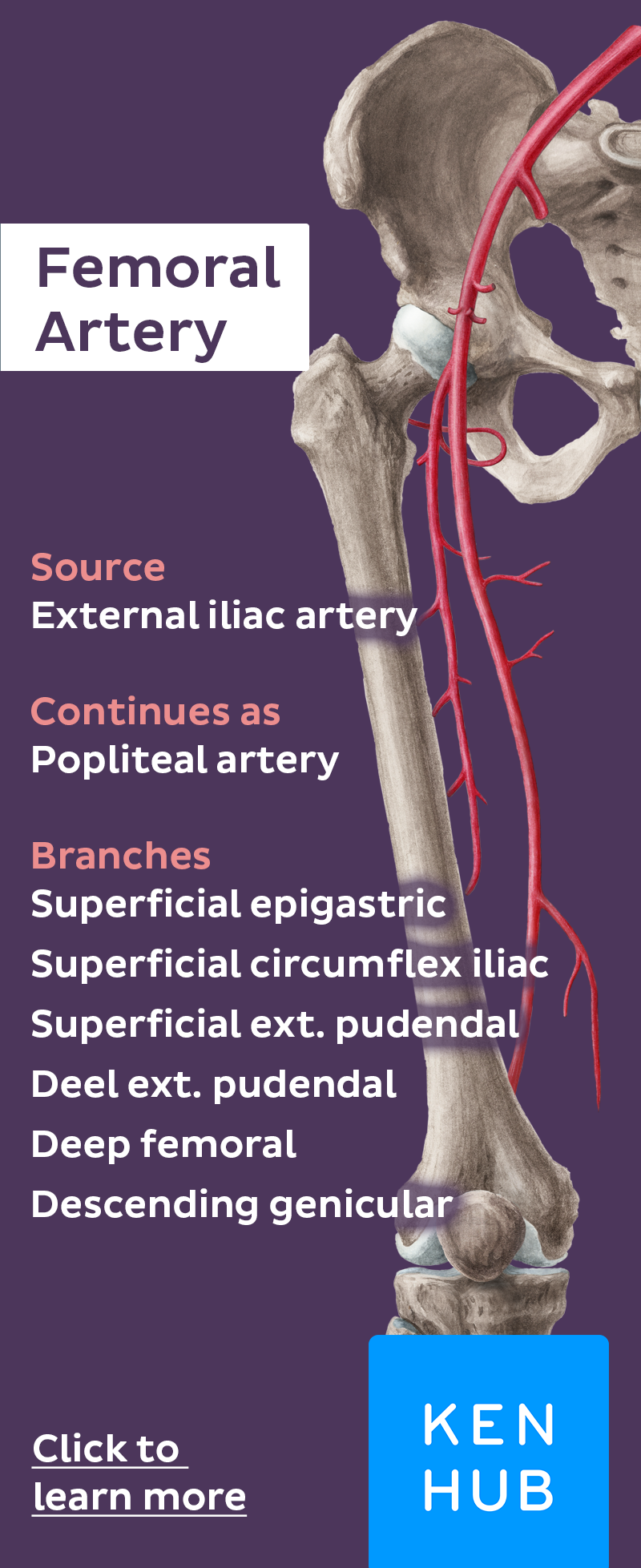 Femoral Artery | Cardiothoracic surgeon | Pinterest | Anatomy, Blood ...