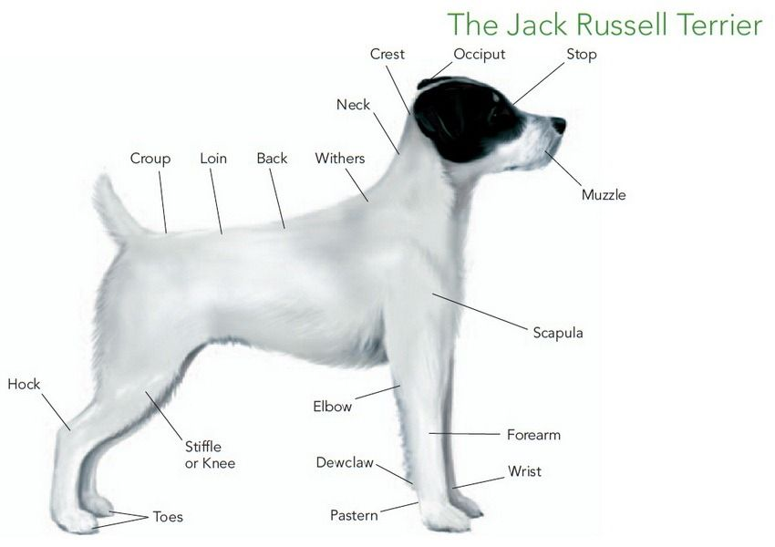 what is the difference between parson russell terrier and jack ...