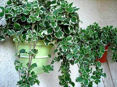 planta del incienso colgante plectranthus coleoides