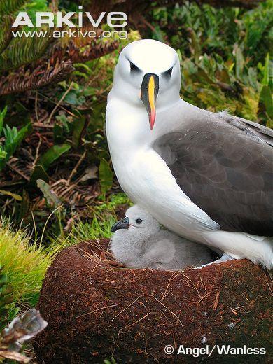 Atlantic Yellow-Nosed Albatross, Thalassarche chlororhynchos (Procellariiformes)