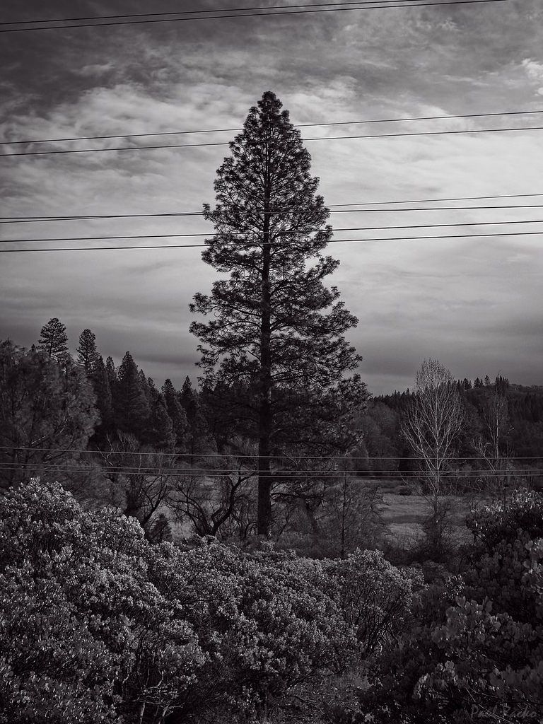 Ponderosa Pine and Utility Wires | Grass valley, Sign ...