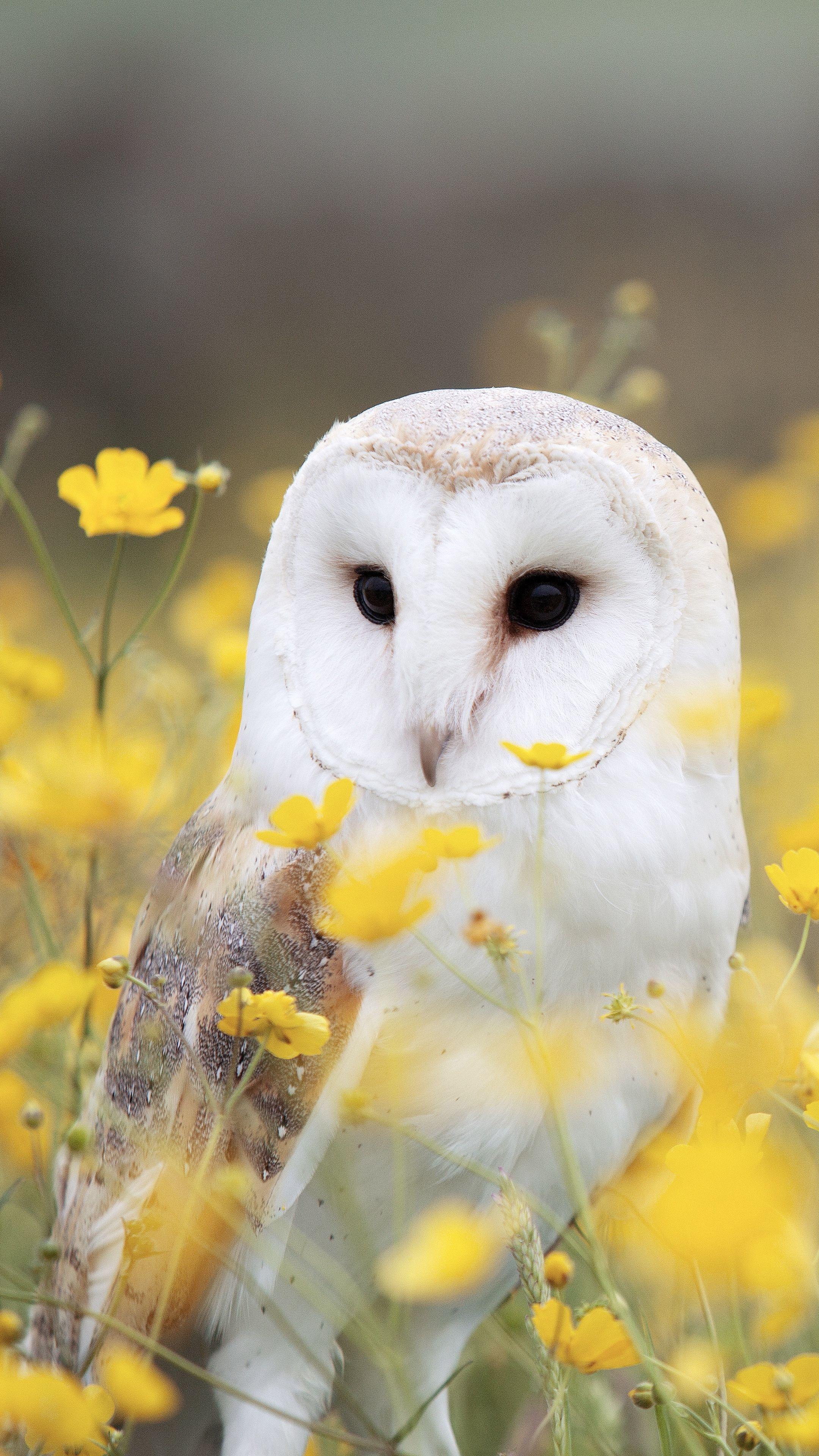 Animals owl, barn owl, bird android wallpapers 4k hd