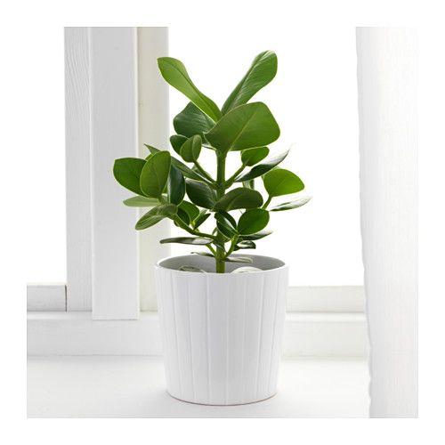 clusia plante en pot ikea coup de coeur ik a. Black Bedroom Furniture Sets. Home Design Ideas