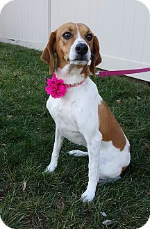 New Oxford Pa Beagle Feist Mix Meet Fancy Girl A Dog For
