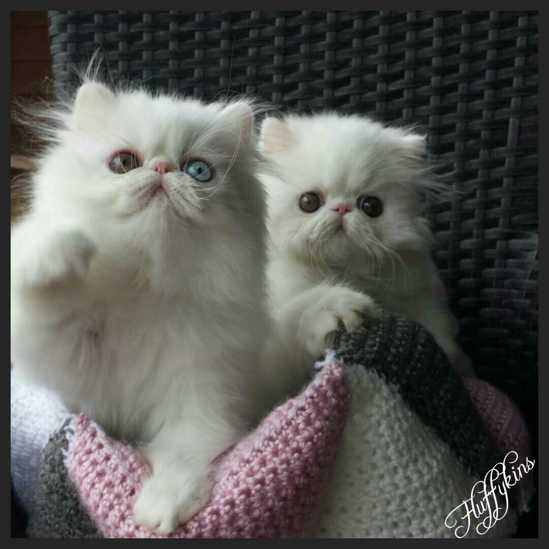 Fluffykins Persians white twins Kitten breeds, Cute cats