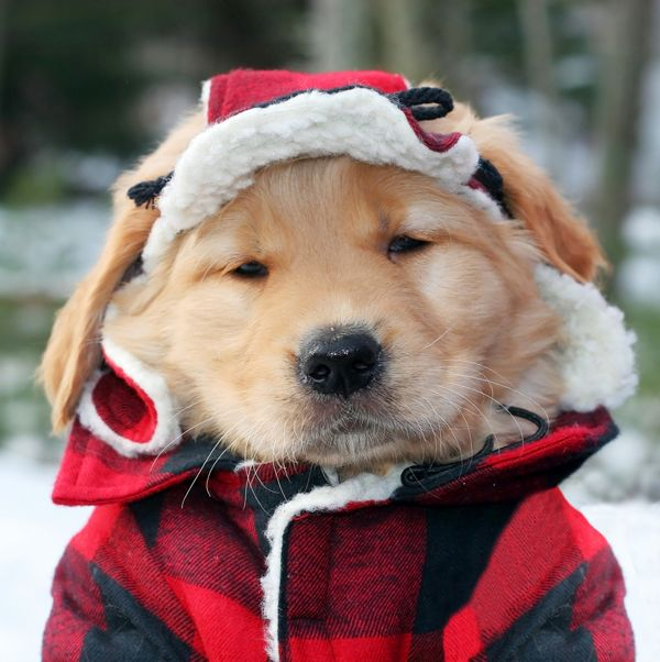 Do Dogs Need Winter Clothes Retriever Puppy Cute Animals Puppies