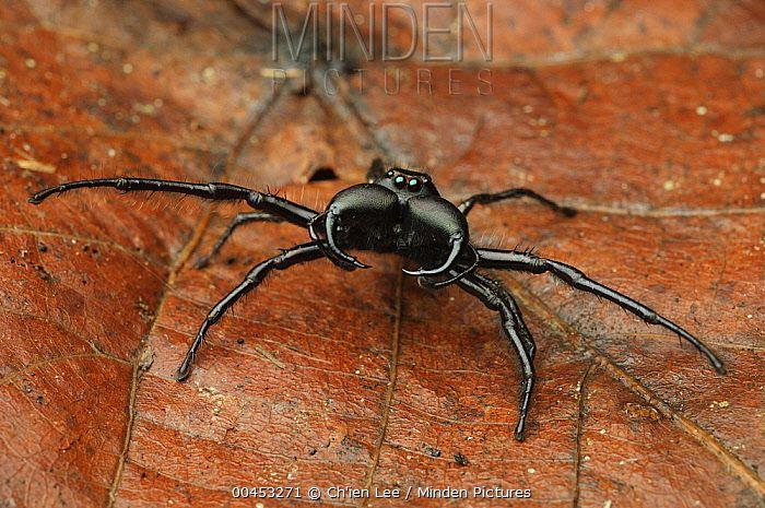 Jumping Spider Hyllus Walckenaeri Indonesia Spiders Spider