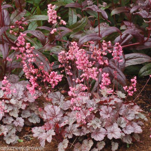 Maroon Garden Ideas: Heuchera MILAN Reblooming Pink Flowers Native Coral Bells