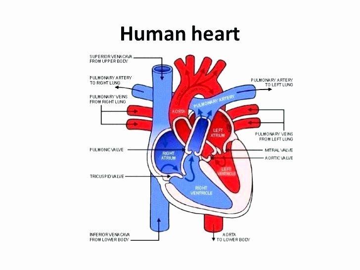 Heart Diagram Worksheet Blank Human Heart Worksheets Label ...