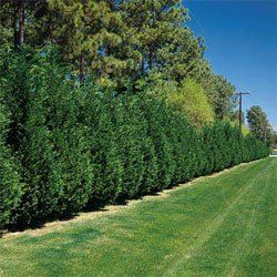 grows super fast leyland cypress trees 14 20 tall plants outside plants fast growing. Black Bedroom Furniture Sets. Home Design Ideas