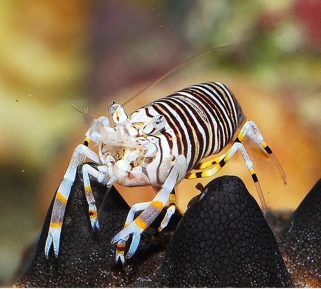 Bumble Bee Shrimp Marine Fish Ocean Creatures Saltwater Tank