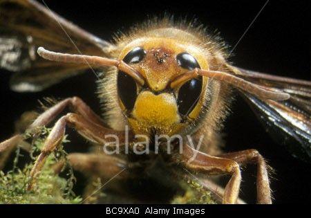 Queen Hornet, Vespa crabro    © Image Quest Marine / Alamy