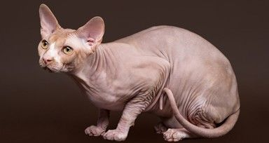 Can you name these cat breeds?