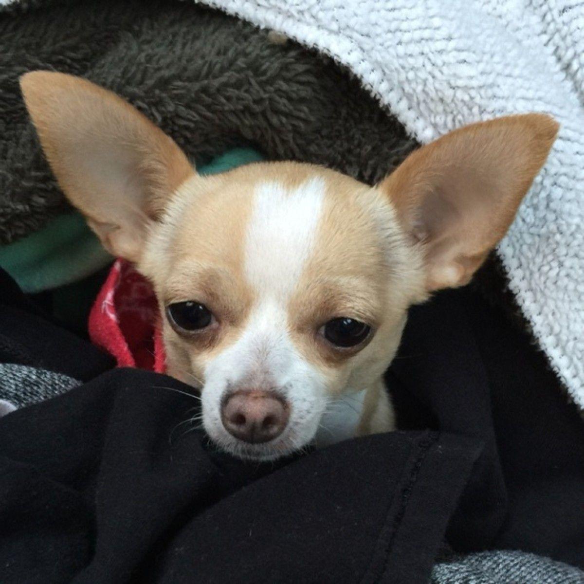 New In The Life Of Chi Chi Chihuahua French Bulldog Bulldog