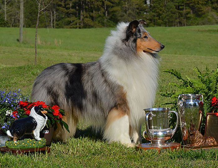 Collie Club Of America Homepage Collieclubofamerica Org Collie