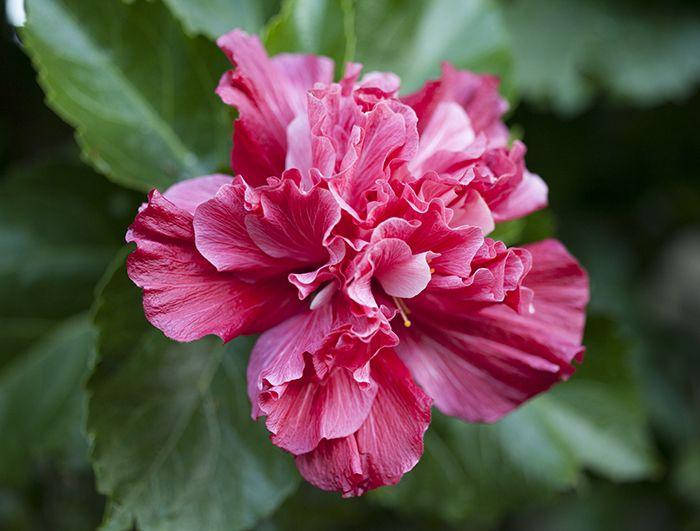 double (triple? ) hibiscus | Amazing flowers, Rare flowers ... |Triple Hibiscus
