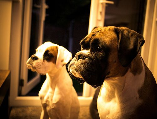 Boxer Dogs With The Same Expression Boxer Dogs Boxer Puppies Boxer Bulldog