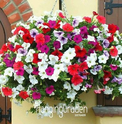 1200 Pcs Garden Petunia Seeds Mix Flower Uk Seller Petunia