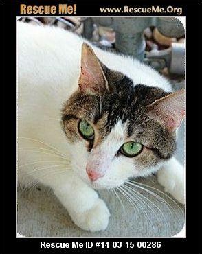 Turkish Van Rescue Florida Turkish Van Cats Cat Adoption Turkish Van