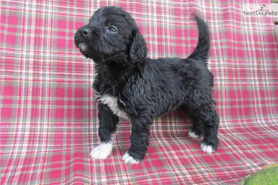 You Ll Love This Male Portuguese Water Dog Puppy Looking For A New Home Portuguese Water Dog Portuguese Water Dog Puppy Water Dog