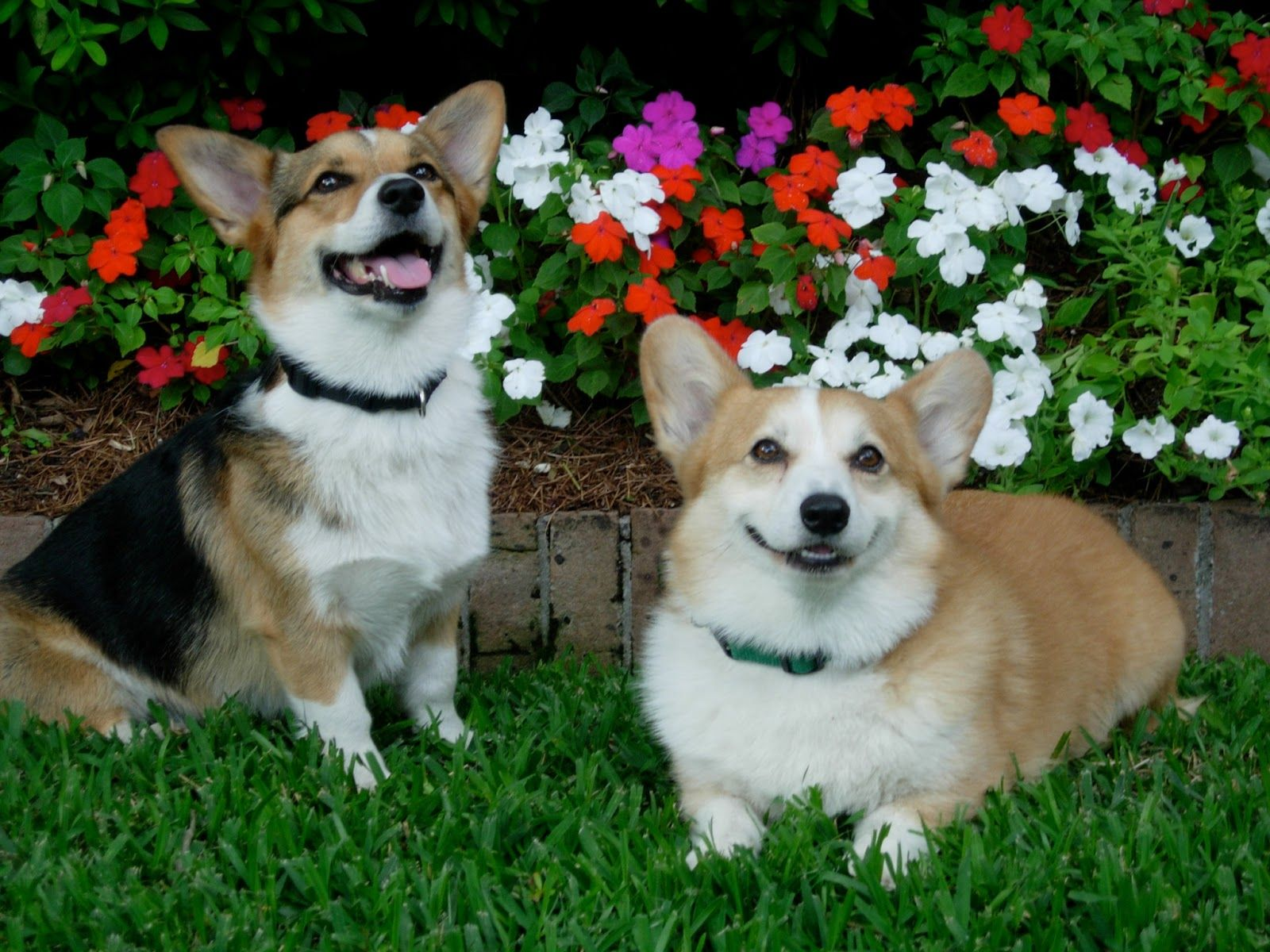 Agility Girl Ruby Her Devoted Samwise Two Rescue Pembroke Welsh Corgis Happily Re Homed In New Orleans The Daily Corgi Corgi Corgi Pembroke Pembroke Welsh Corgi