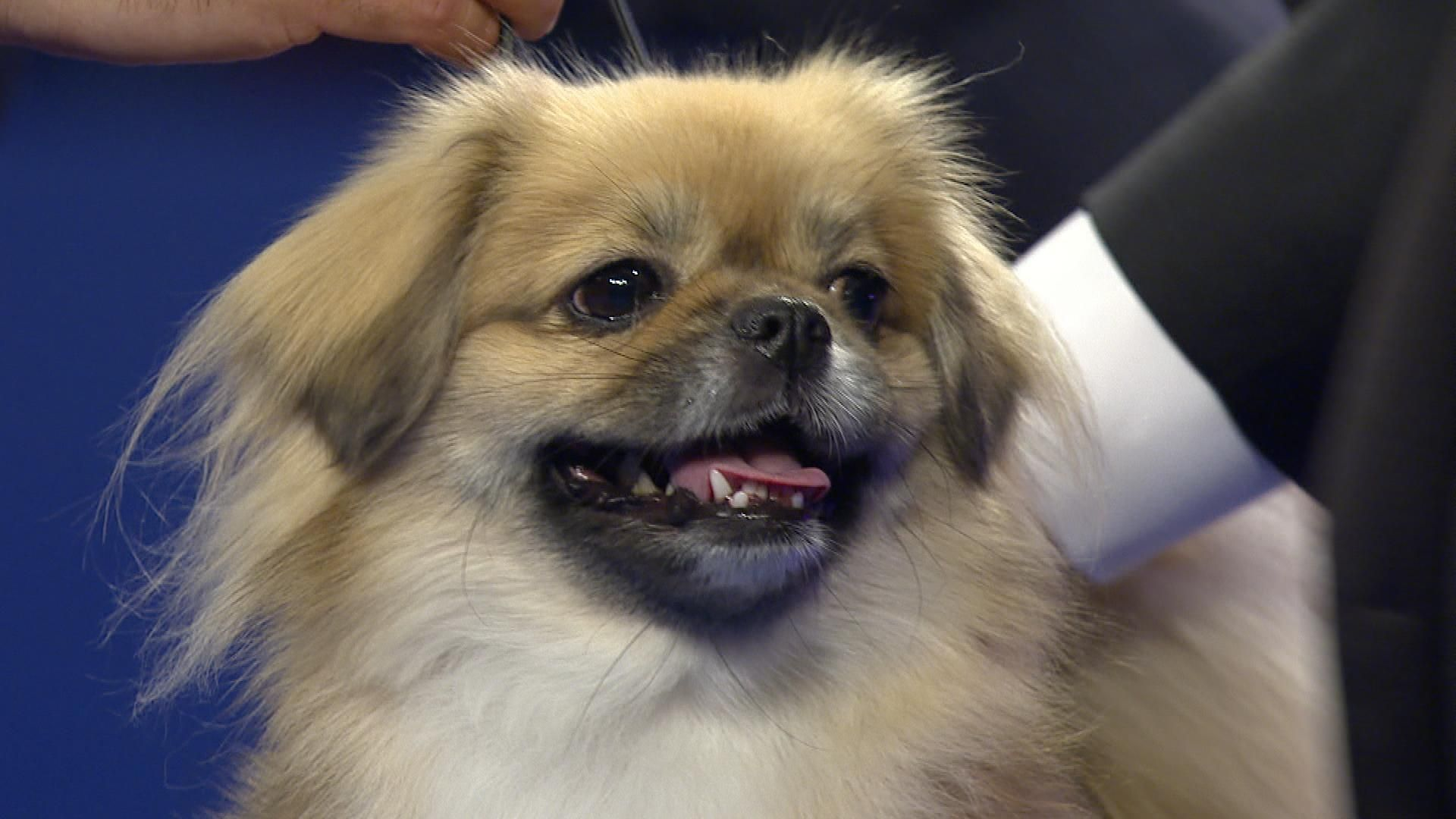 Image Result For How To Tell A Pekingese From A Tibetan Spaniel Tibetan Spaniel Pekingese Spaniel