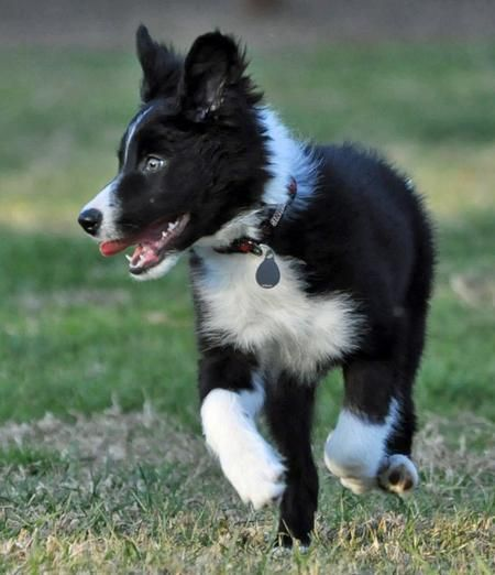Jetson the Border Collie . . . on the hunt for fun