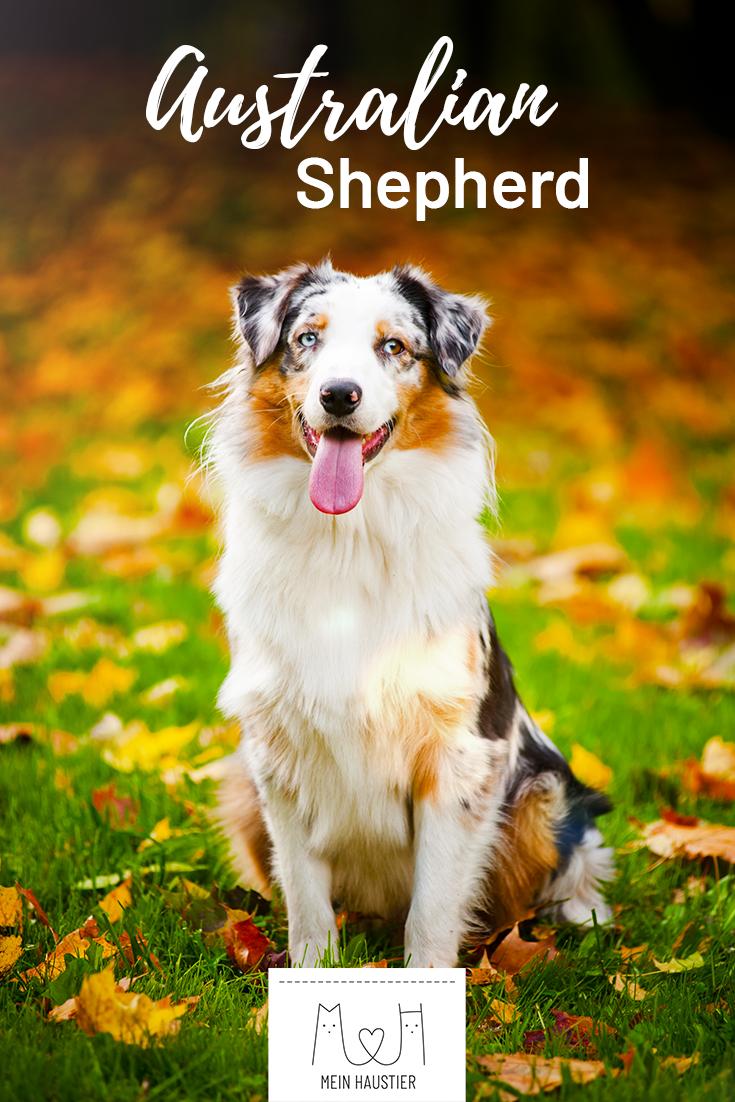 Der Australian Shepherd Ist Besonders Beliebt Fur Die Wunderschone Fellfarbung Die Eisblauen Augen Und Seine Freu Australian Shepherd Hunderassen Hunde Rassen
