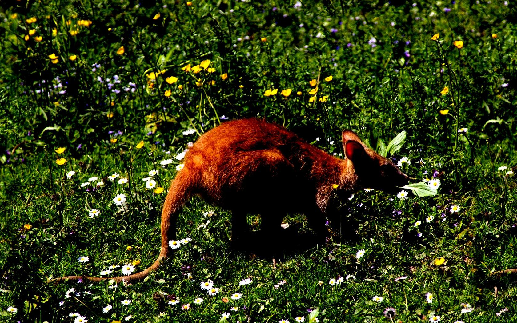 How sweet <3 a baby kangaroo on a field of daisies.