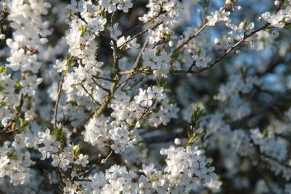 Flowering Trees In Colorado Ehow Flowering Trees Trees To Plant Cherry Tree