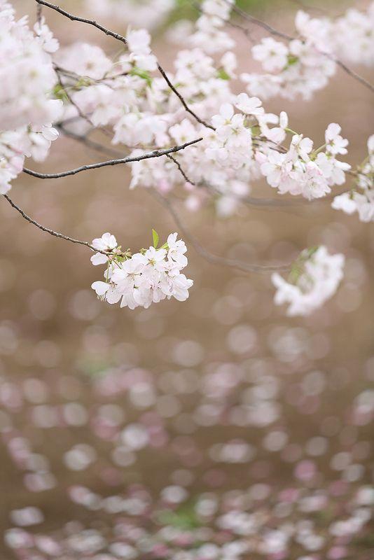 Falling White Cherry Blossom Best Flower Wallpaper Flower Phone Wallpaper