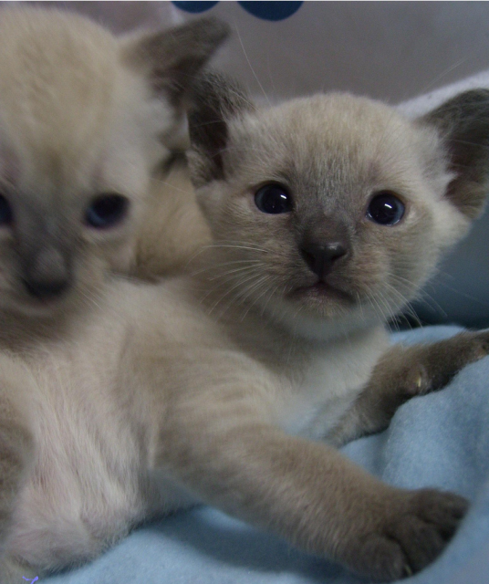 Siamese kittens newborn siamese kittens picture.PNG