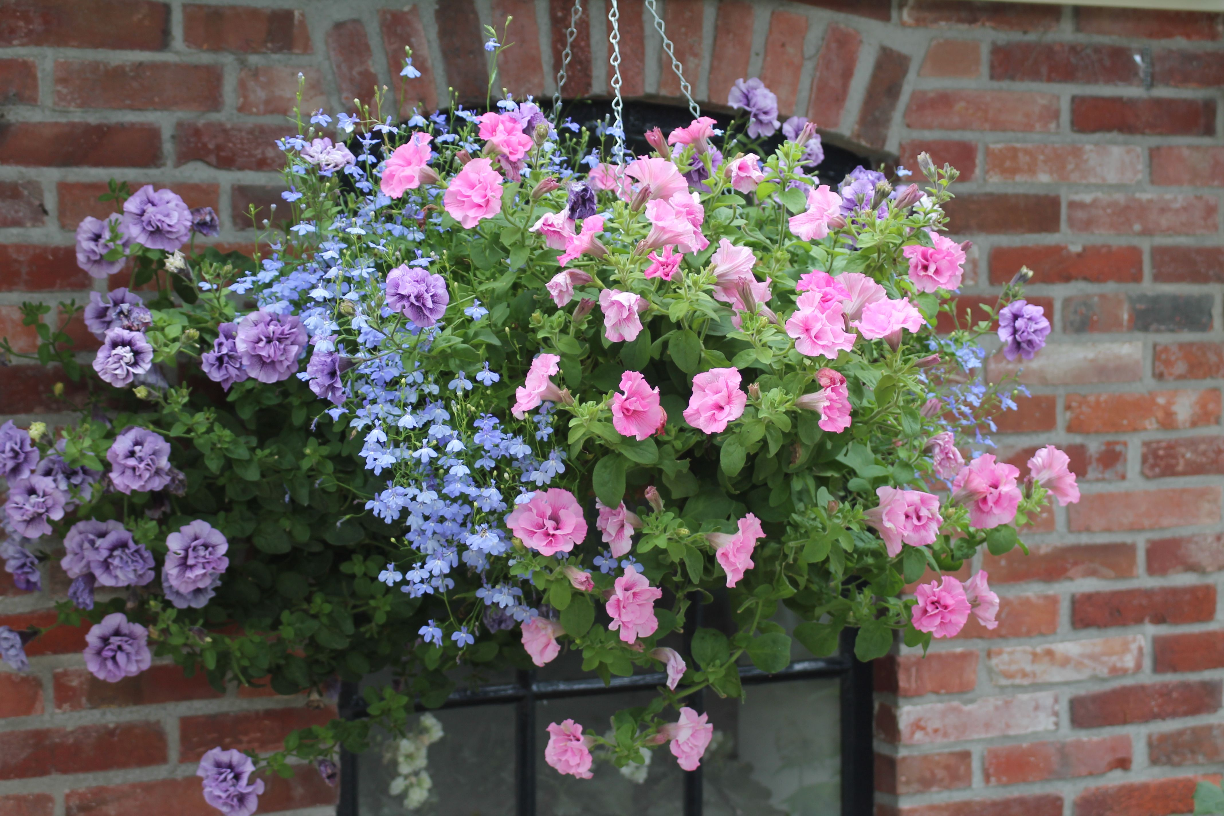 Hanging Basket With Surfinias In Pink And Purple Combined With