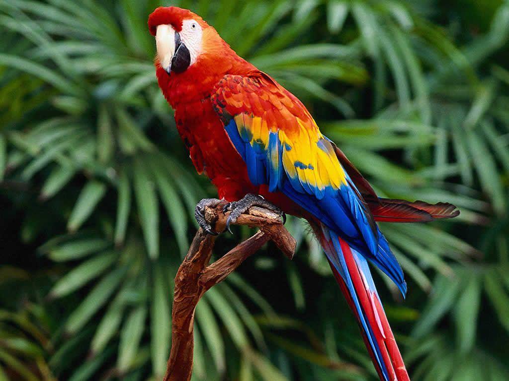 Multi Colored Australian Parrots Macaw Parrot Colorful Parrots Hd wallpaper red and blue parrots