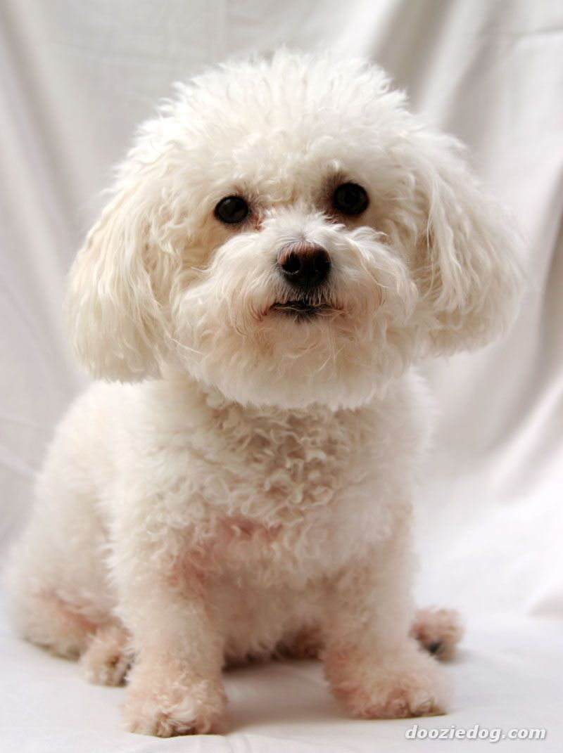 Bichon Frise Mini Poodle Mix Adopted 1 15 13 We Are So Lucky To