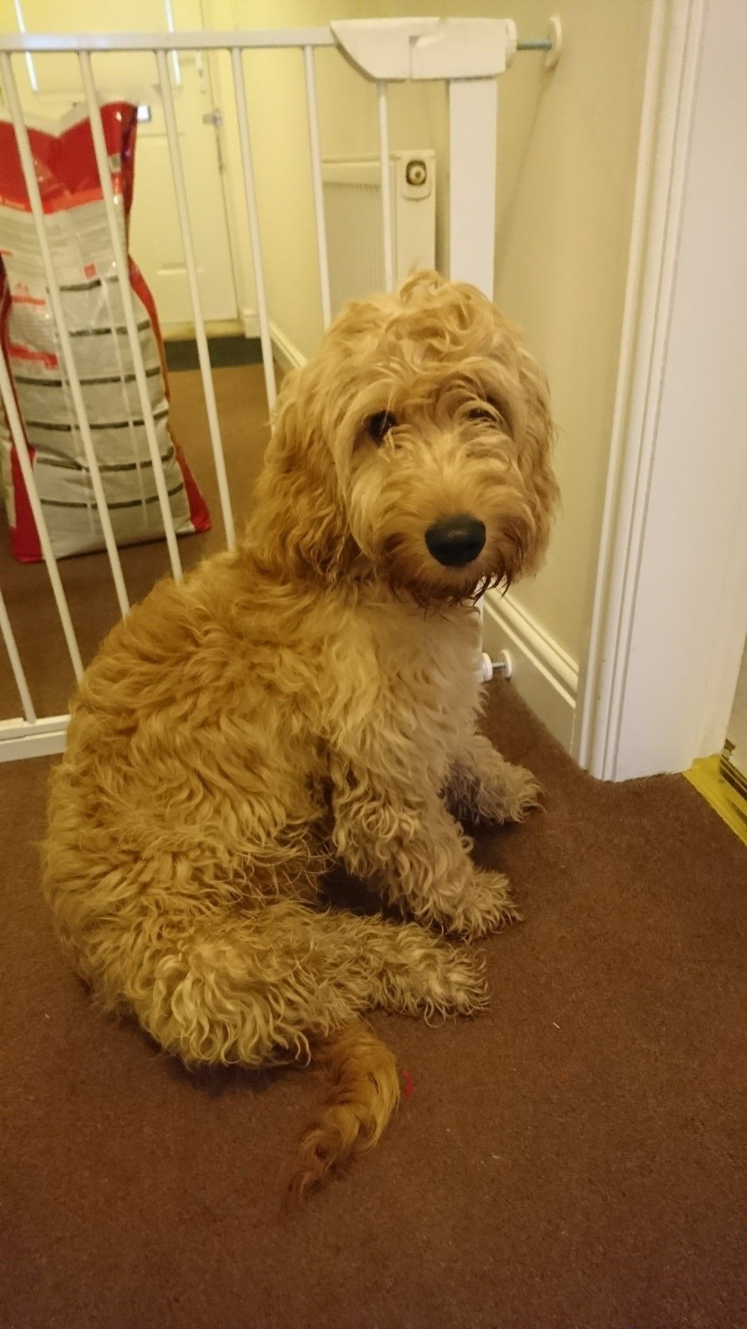 I Went To The Pet Shop Today And Bought Myself The Biggest Bag Of Food But Now They Ve Taken It Off Me Pet Shop Golden Retriever Cockapoo