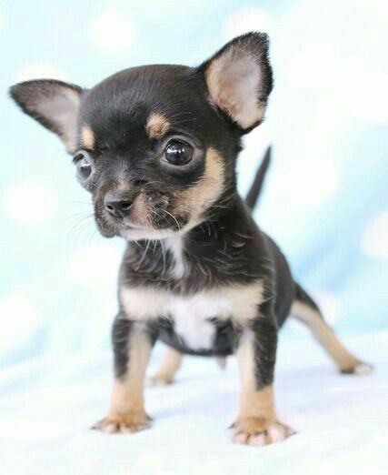 Your Look When People Call You A Chihuahua Teacup Chihuahua