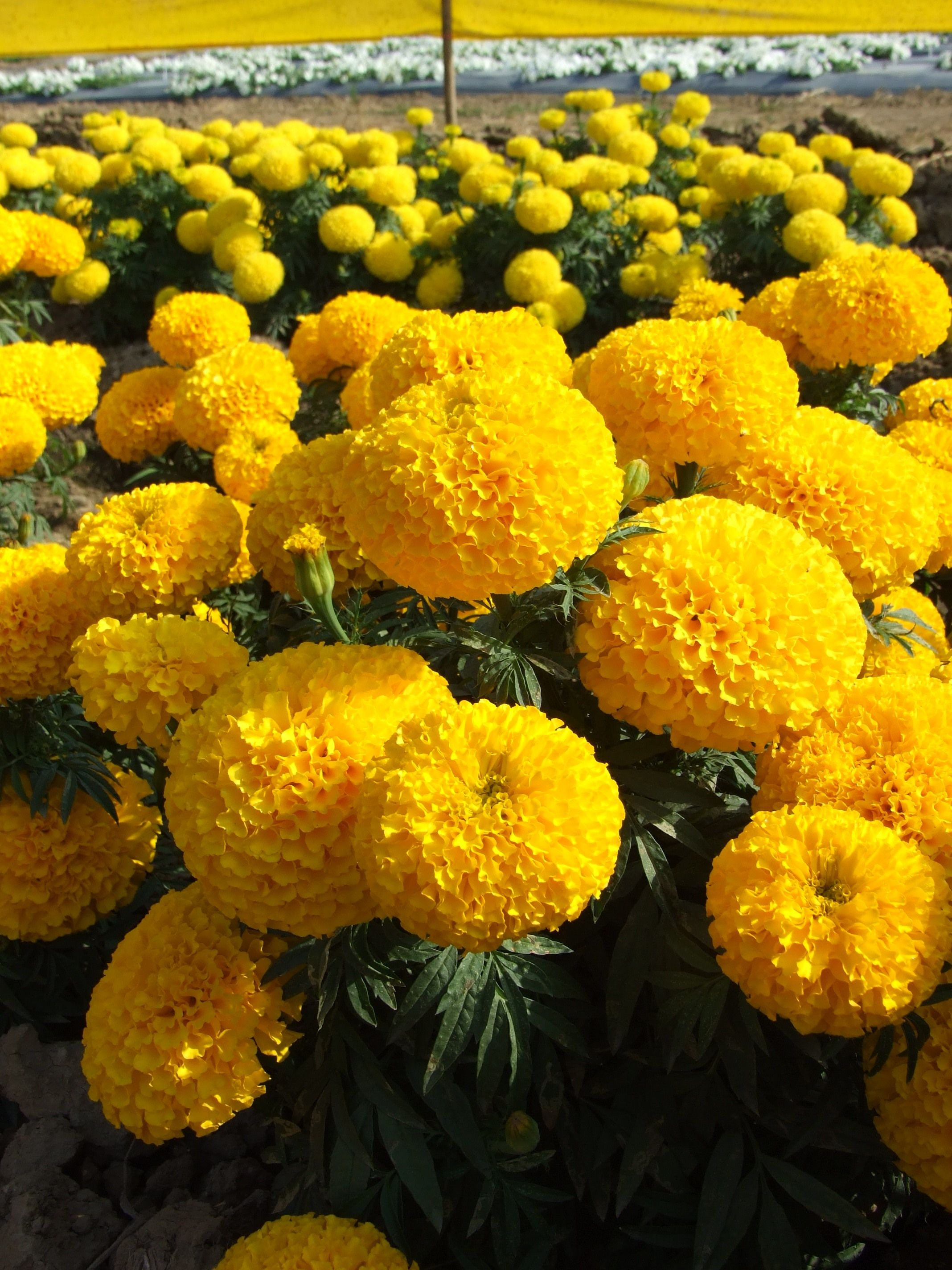 India S Best Quality Marigold Seeds From Kimcoseeds Tested On Variety Of Conditions To Get Best Yield Marigold Flower Yellow Flowers Flower Garden