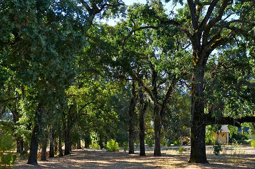 trees at solage calistoga - Google Search