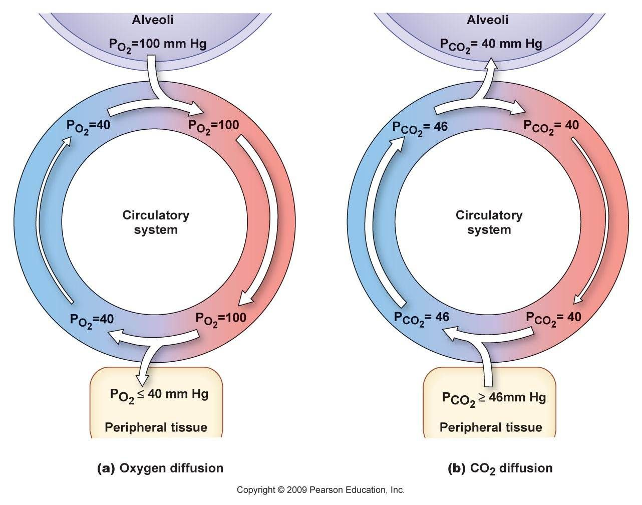 Avleoli Partial Pressures Physiology Human Anatomy And Physiology Respiratory System