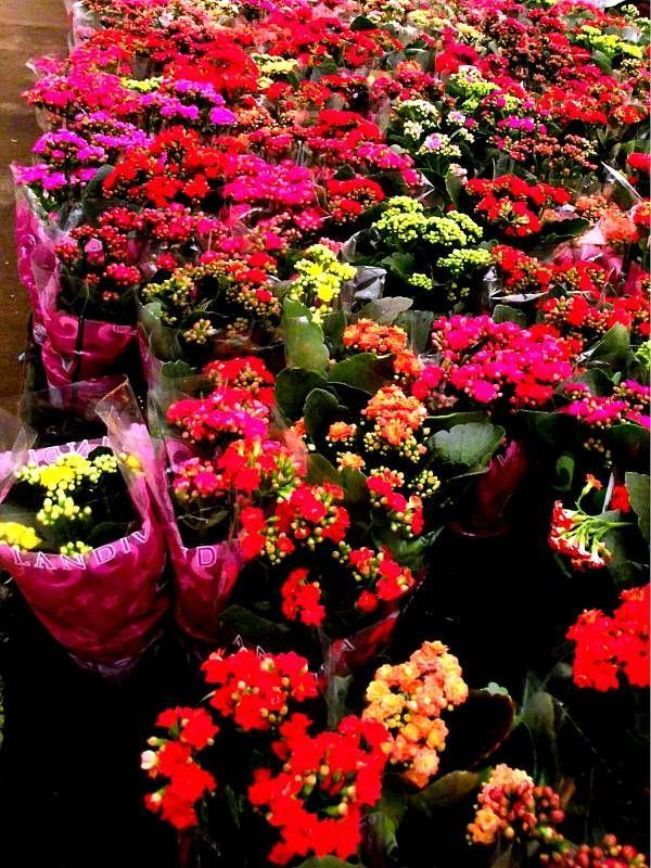 Kalanchoes Como Cuidar Flores Cultura Mix Succulents Cacti