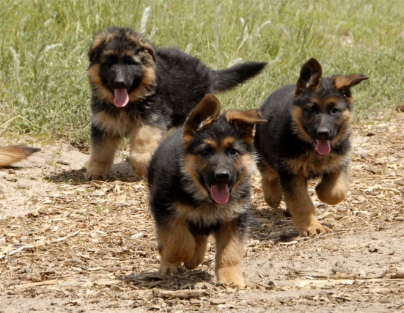Black Brown American German Shepherd Puppies Puppies Puppy Dog